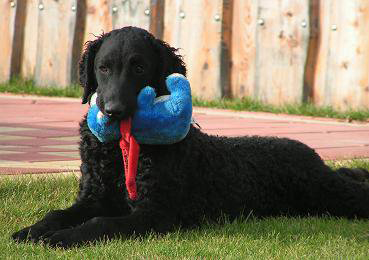Curly coated retriever retriever BUBBLE GUM You're The Inspiration