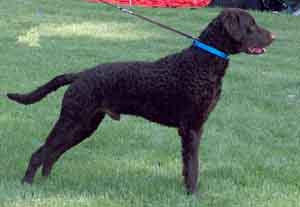 Curly Coated retriever Ich, MultiCh Caballus URQUELL